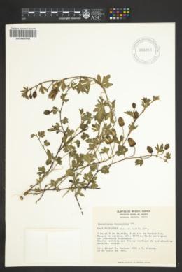 Passiflora bryonioides image