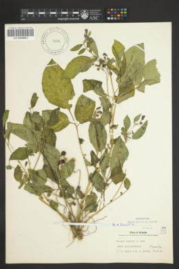 Solanum stoloniferum image