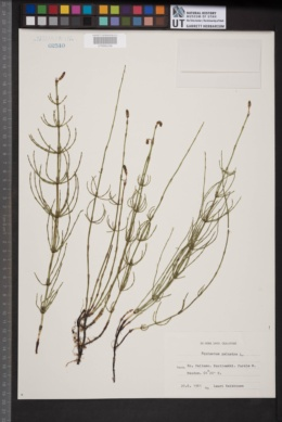 Image of Equisetum palustre
