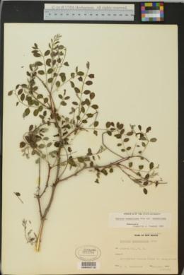 Robinia neomexicana image