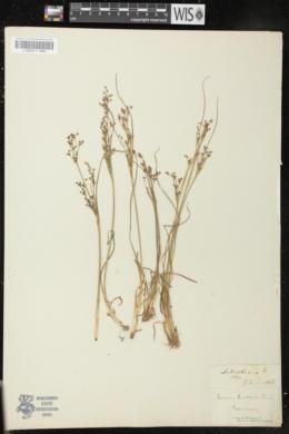Juncus bulbosus image