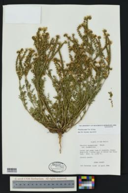 Phacelia popei image