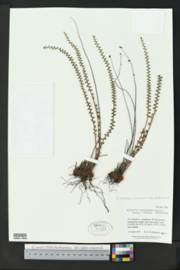 Astrolepis cochisensis subsp. cochisensis image