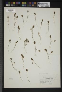 Polygonum polygaloides subsp. kelloggii image