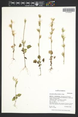 Image of Brickellia diffusa nom. illeg.