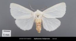 Spilosoma latipennis image