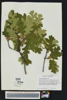SEINet Portal Network - Quercus garryana