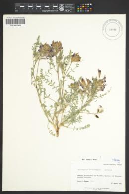 Astragalus waterfallii image