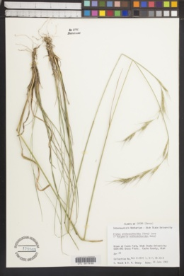 Image of Elymus anthosachnoides