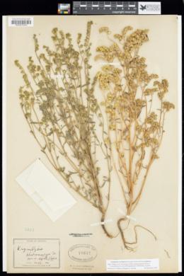 Cryptantha pterocarya var. cycloptera image