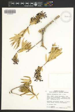 Lobelia polyphylla image