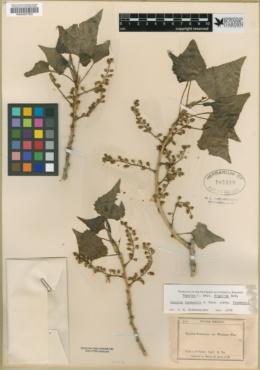 Populus fremontii subsp. fremontii image