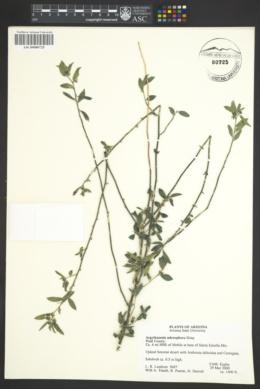 Ditaxis claryana image
