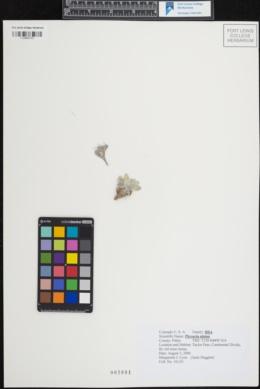 Image of Physaria alpina