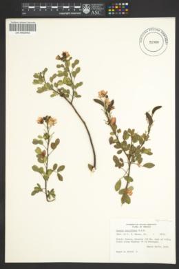 Image of Chamaecrista hispidula