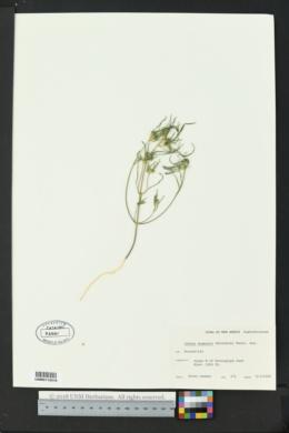 Euphorbia exstipulata image