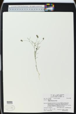 Image of Dalea filiciformis