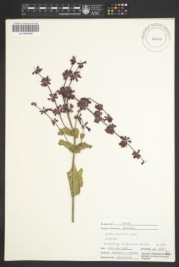 Image of Salvia napifolia