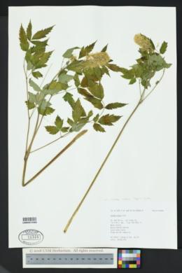 Actaea rubra subsp. arguta image