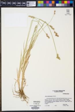 Carex albolutescens image