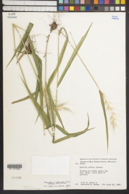 Elymus hystrix f. bigelovianus image