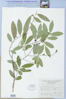 Image of Annona globiflora