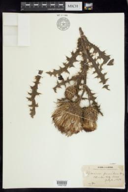 Cirsium hillii image
