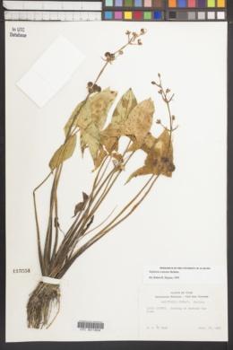 Sagittaria cuneata image