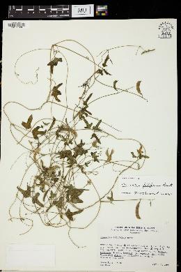 Phaseolus filiformis image