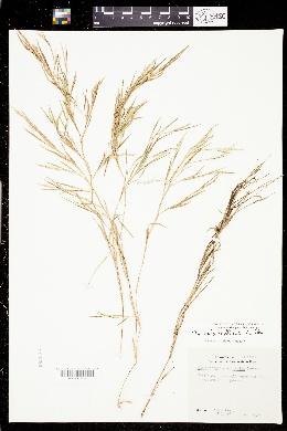 Image of Muhlenbergia glabrifloris