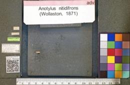 Image of Anotylus nitidifrons