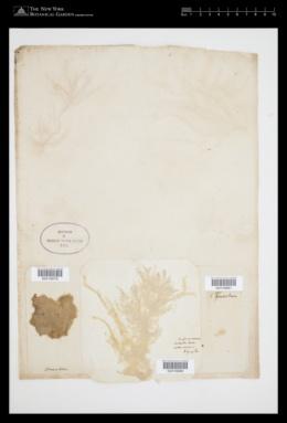Spongonema tomentosum image