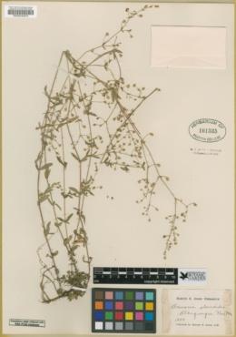 Arenaria alsinoides image