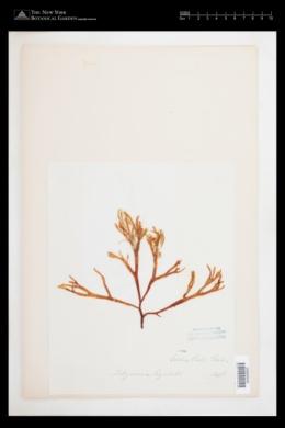 Halarachnion ligulatum image