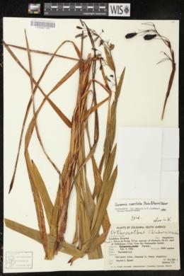 Image of Eccremis coarctata