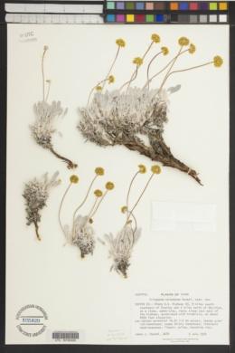 Eriogonum meledonum image