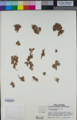 Elatine californica image