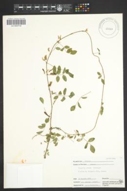 Image of Nissolia setosa