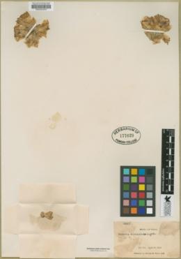 Opuntia atrispina image