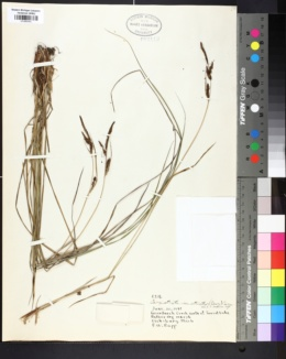 Carex stricta var. strictior image