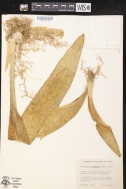 Image of Sansevieria hyacinthoides