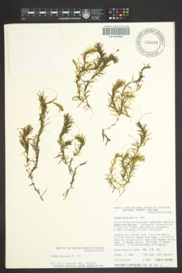 Elodea bifoliata image
