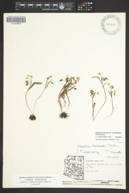 Claytonia rosea image
