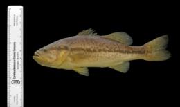 Micropterus salmoides image