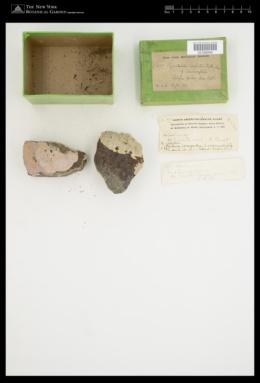 Clathromorphum compactum image