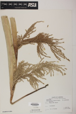 Washingtonia robusta image