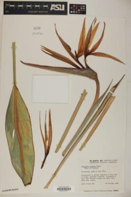 Strelitzia reginae image