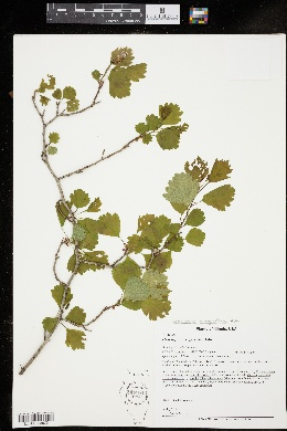 Image of Crataegus margarettae