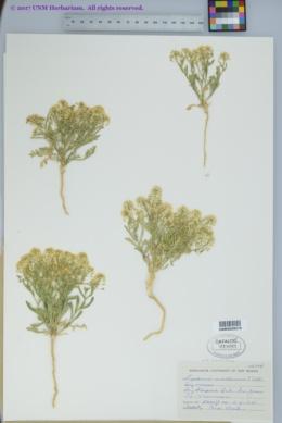 Lepidium montanum var. canescens image