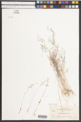 Deschampsia danthonioides image